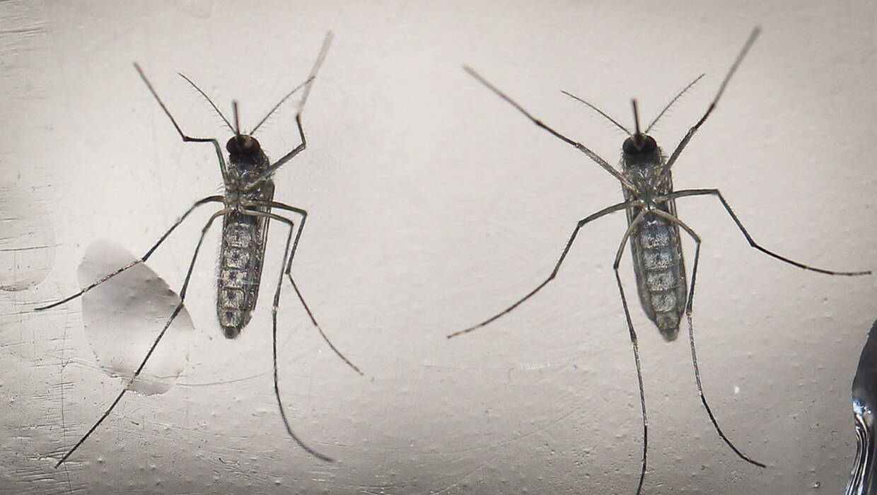 epa05163158 A photo made available 15 February 2016 dated shows a mosquito 'Aedes aegypti', that transmit the Zika virus, in a laboratory in San Salvador, El Salvador, on 07 February 2016. The Salvadorean Ministry of Tourism announced on 15 February 2016 the implementation of an action plan to protect tourists of the mosquito and the certification of the touristic zones frequently visited. EPA/OSCAR RIVERA  Fot. PAP/EPA